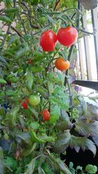 190513 東ベランダ トマト