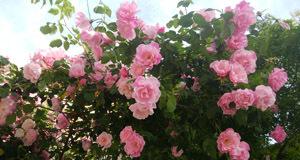 山手 外階段の薔薇
