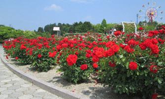 蜂ヶ峯 薔薇の季節