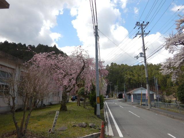 黒田の桜201904-1