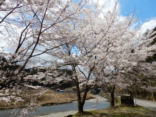 桂川沿いの桜201904