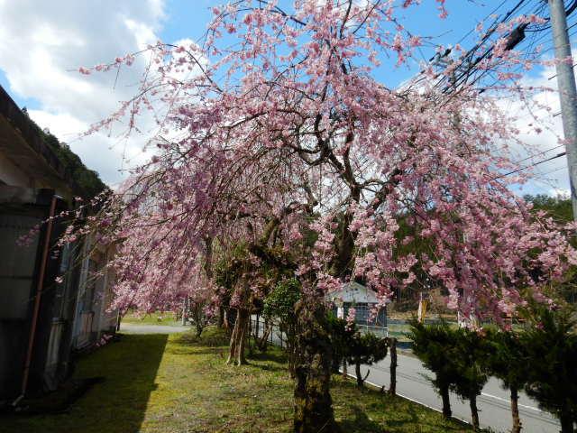 黒田の桜201904-2