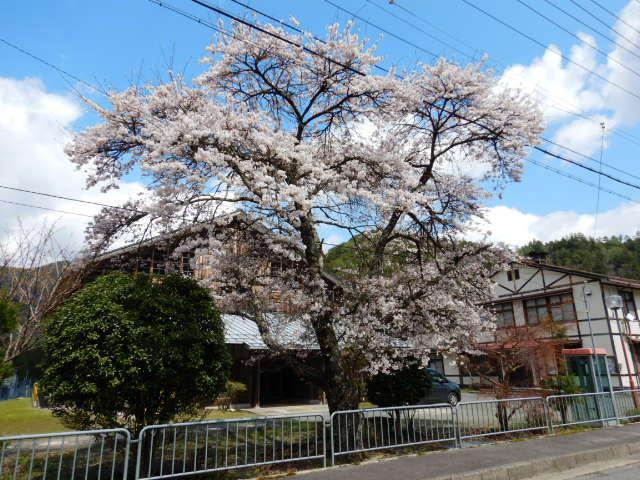 黒田の桜201904-3