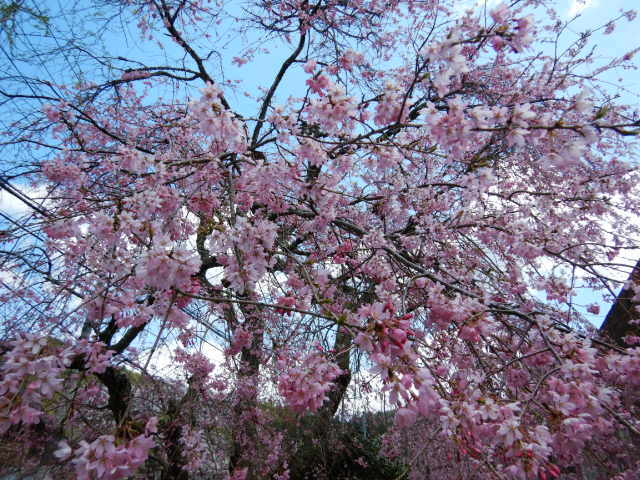 黒田の桜201904-5