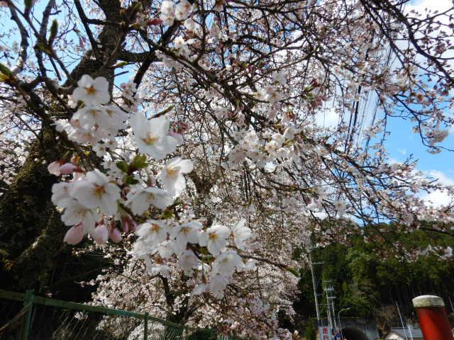 黒田の桜201904-6