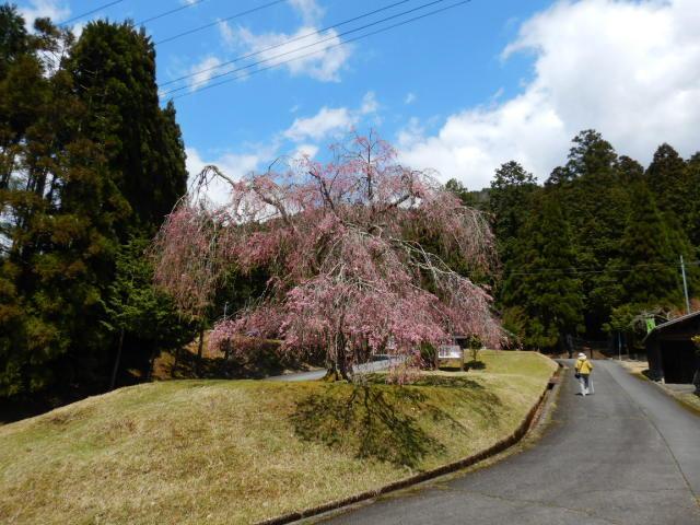 山門前の桜201904-1
