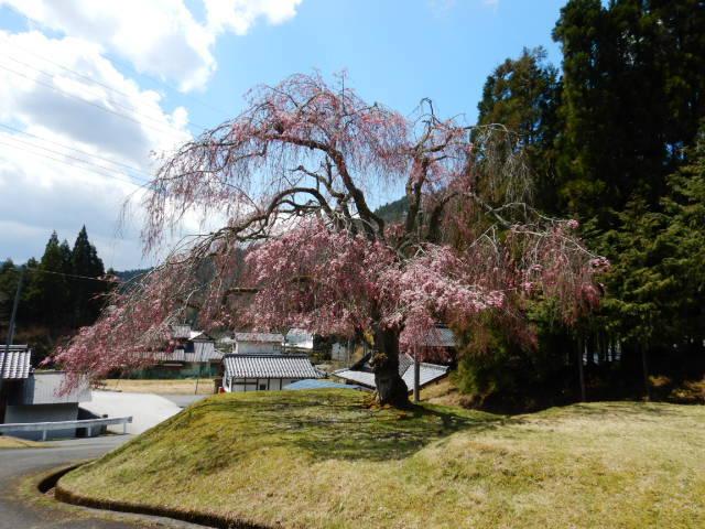山門前の桜201904-2