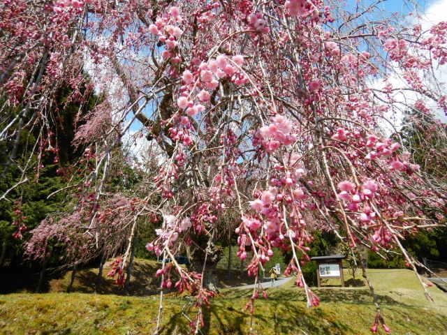 山門前の桜201904-3
