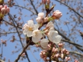 3月27日 開花状況2