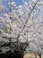 2019年4月5日 桜4