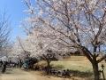 2019年4月5日 桜6