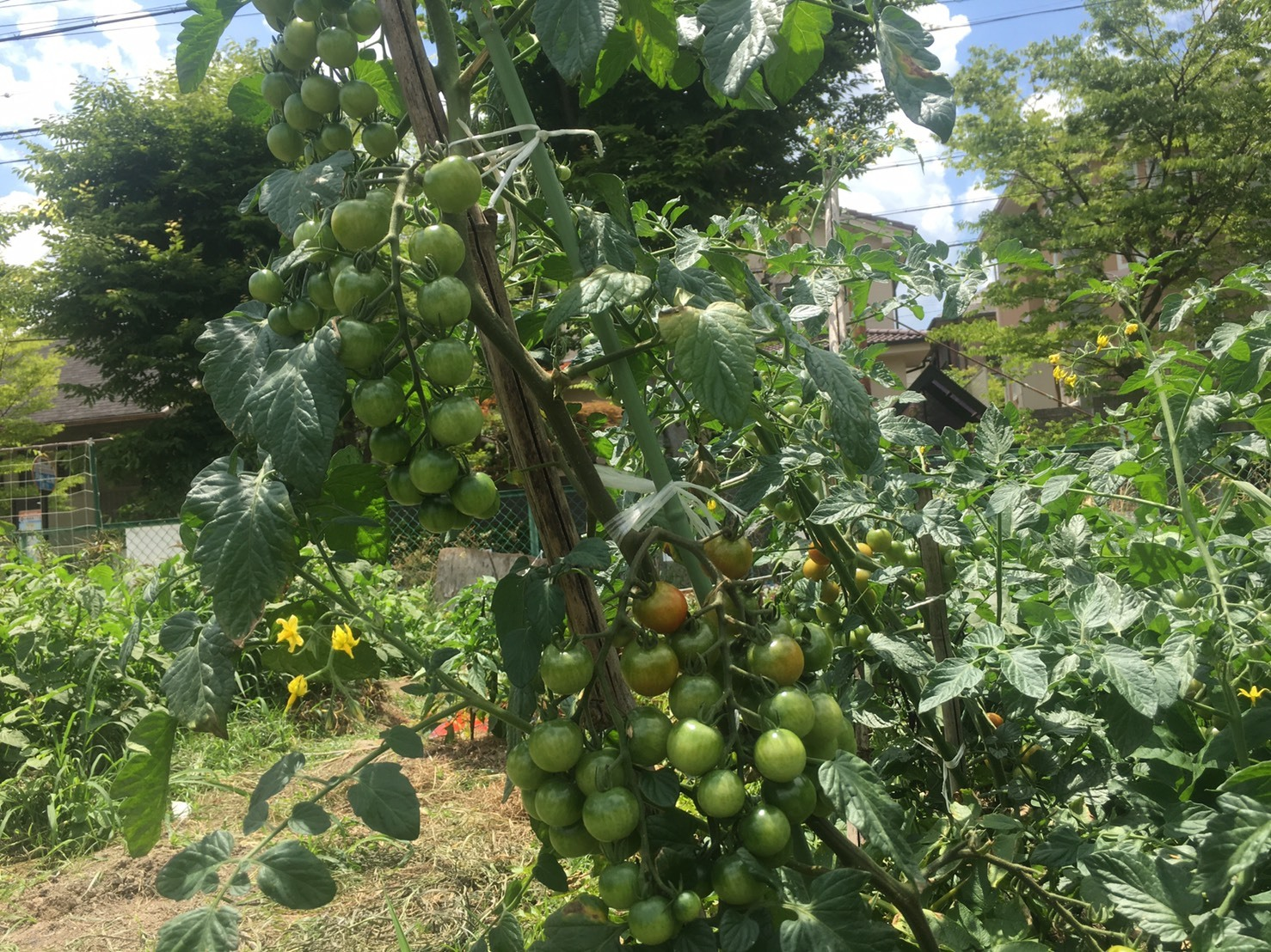トマト190624