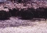 4.桜-05P(事項:花と樹 P)