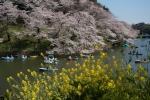 2.皇居の花見:千鳥ヶ淵-121D 1904q