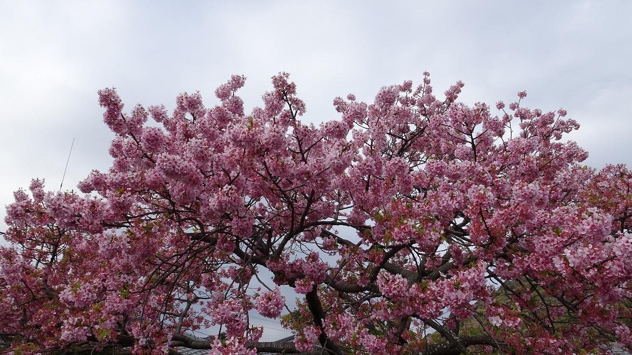 チビット遅かった河津桜 (2019年3月)